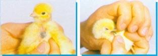诗华免疫宝:所含蓝色指示剂能够在雏鸡饮用后的1-2小时将其舌和嗉囊染为兰色
